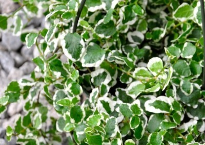 Creeping Fig, Variegated