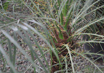Phoenix Robelinii