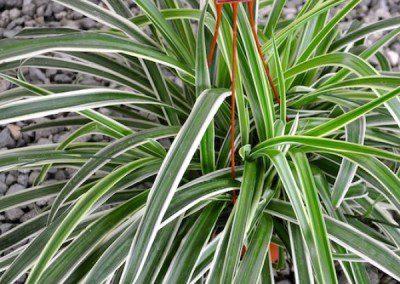 Reverse Spider Plant