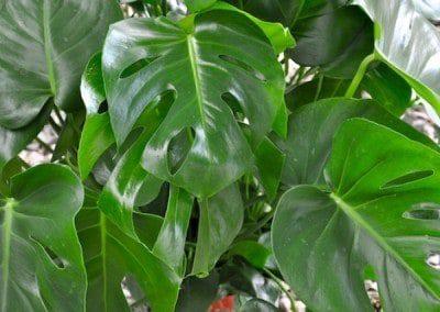 split-leaf